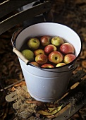 Apples (Cox's Orange Pippin) in a bucket of water