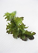 A young red mustard leaf