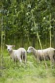 Two sheep among hops