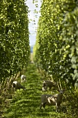 Sheep between rows of hops in New Zealand