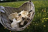 Fresh St. George's mushrooms in a basket