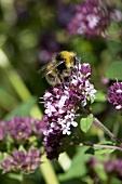 Bee on marjoram flowers