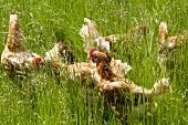 Free-range hens in a field