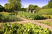 Beds and paths in an organic vegetable garden (England)