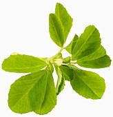 Fenugreek (Trigonella foenum-graecum)