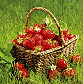 A basket of fresh strawberries on grass