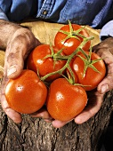 Man holding five tomatoes in both hands over a tree trunk