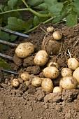 Kartoffelernte (Neue Kartoffeln mit Pflanze und Grabegabel)