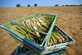 Freshly picked green asparagus in crates (Suffolk, England)