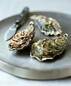 Drei frische, ungeöffnete Austern