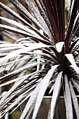 Garden plant with hoar frost
