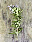 A sprig of flowering rosemary