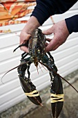 Man holding live lobster in his hands (Jersey, Channel Islands)