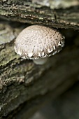 Shiitake mushroom on a tree trunk