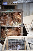 Hens in cages (Mallorca)