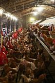 Hens on a hen farm