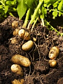 New potatoes in disturbed soil