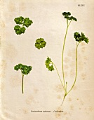 Curly leaf parsley (Illustration)