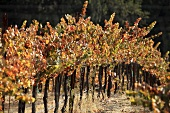 Vineyard in autumn, Central Coast, California, USA