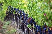 Zinfandel Trauben an der Rebe, De Loach Vineyard, Sonoma, Kalifornien