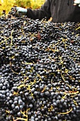 Pinot Noir grapes after picking