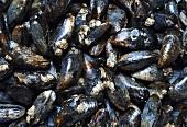 Mussels (macro zoom)