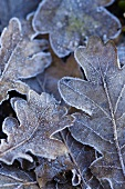 Frozen oak leaves