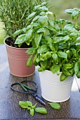 Basil and rosemary in pots