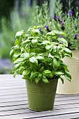 Basil and lavender in pots on a garden table