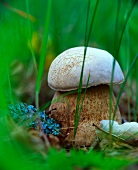Cep in a wood