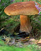 A porcini mushroom and a grass snake in a forest