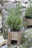 Rosemary in a wooden box on a stone wall