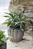 Sage in a pot on a stone wall