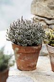 Lemon thyme 'silver queen' in a flowerpot