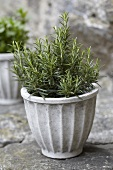 Rosemary in flowerpot