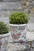 Oregano in a flowerpot