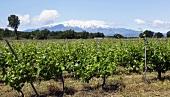 Weinanbau ausserhalb Collioure, Frankreich