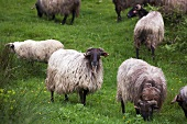 Basque sheep in a field