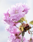 Cherry blossoms (prunus)