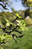 A branch of an apple tree in spring