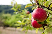 Two red apples on a tree