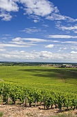 Premier Cru region above Nuits-St-Georges with a rising red ground, Burgundy, France