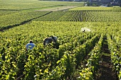 Bio-dynamic agriculture in a large vineyard, La Romanee and Premier Cru Les Reignots Vosne-Romanee, Burgundy, France