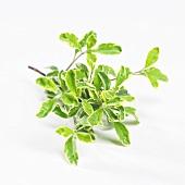 Sage (Salvia S 138)