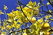 A lemon tree with ripe fruits