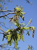 Walnut flowers on a twig