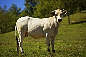 Cow (Piedmontese breed) in the pasture