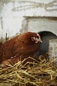 Chicken brooding in straw
