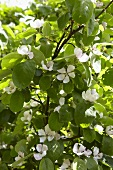 Blooming quince tree (close up)