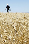 A farmer in a wheat field